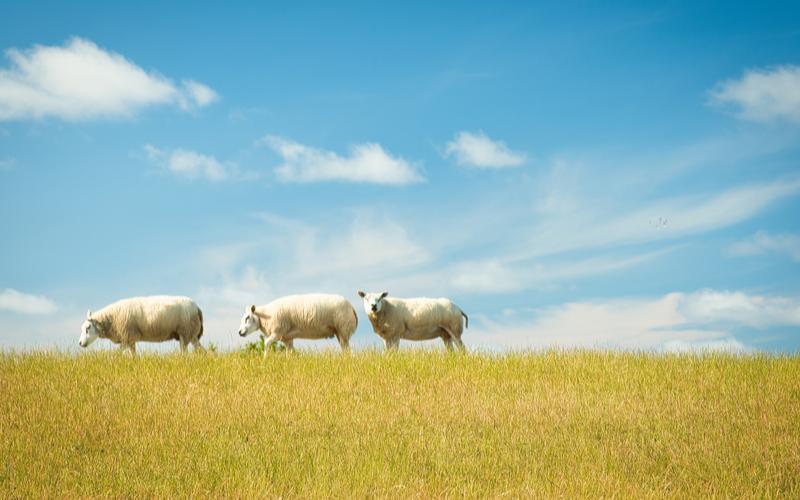 Schafe auf Weide unter blauem Himmel